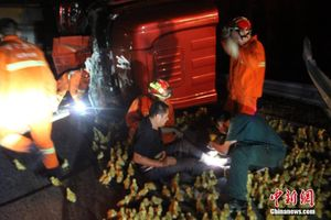 Phân luồng giao thông cho đàn vịt để giải cứu tài xế bị nạn