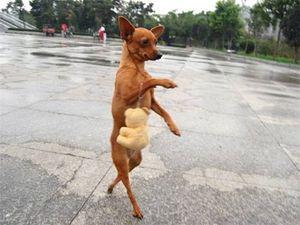Khi cún cưng cũng biết đi hai chân như người