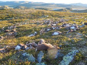 300 con tuần lộc bị sét đánh chết la liệt ở Na Uy