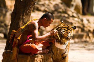 Nước mắt những chú hổ tại đền Hổ, Thái Lan: địa ngục đau thương của loài chúa sơn lâm