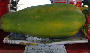 Bí quyết trồng đu đủ sai trĩu, nặng tới 7kg/quả