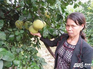 Bưởi Phúc Trạch 'đệ nhất danh quả' của huyện miền núi Hà Tĩnh