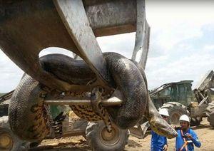 Tìm thấy trăn khổng lồ dài hơn 10 mét ngay tại công trường xây dựng