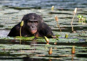 """Loạt ảnh hiếm về về loài khỉ Bonobo """"dâm loạn"""" khét tiếng"""