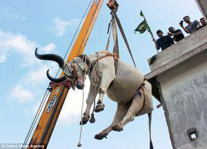 Dùng cần cẩu 'giải cứu' đàn bò trên... sân thượng