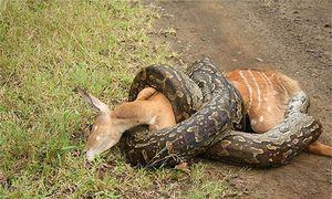 Sự thật khủng khiếp về loài trăn khổng lồ ăn thịt người ở châu Phi
