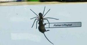 Hoảng hốt khi thấy nhện thợ săn khổng lồ tha chuột trên tủ lạnh