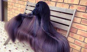 Cô chó xinh đẹp nhất thế giới với bộ lông óng ả