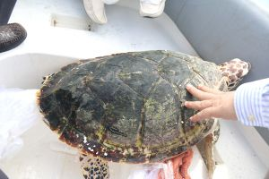 Bình Thuận: Tiếp nhận và thả đồi mồi quý hiếm về biển