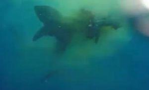 Cá mập xé xác... một con bò giữa đại dương