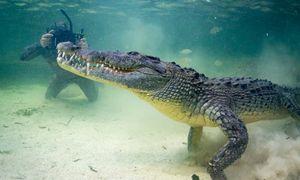 Xem thợ lặn mạo hiểm trêu ngươi cá sấu nước mặn khổng lồ