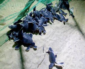 Cả làng chài chăm sóc rùa quý đẻ trứng