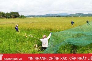 Người dân Nghệ An vào Hà Tĩnh 'săn' cào cào, kiếm tiền triệu