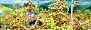 """Vẻ đẹp """"hút mắt"""" của những gốc mai bonsai ở Bình Định"""