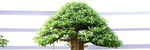 Ngắm những cây cổ thụ trong hình dáng tí hon