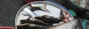 Bắt được cá leo 'khủng' trên sông Hậu