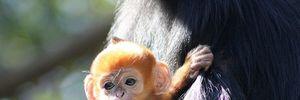 Điểm những loài khỉ quý hiếm nhất tự nhiên