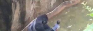 Sở thú Mỹ bắn chết khỉ đột cứu bé trai 3 tuổi