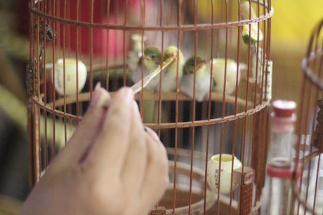 3 108339 Tìm hiểu về kỹ năng và nghệ thuật chăm chim của Vua chim màu đất Bắc