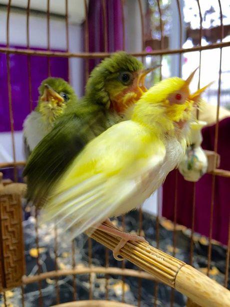 6 75195 Tìm hiểu về kỹ năng và nghệ thuật chăm chim của Vua chim màu đất Bắc