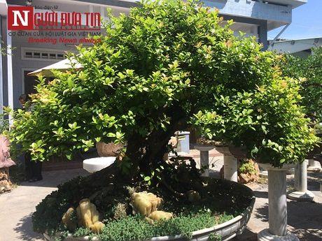Gap nguoi thoi hon dieu khac da vao nghe thuat bonsai tai Da Nang - Anh 11