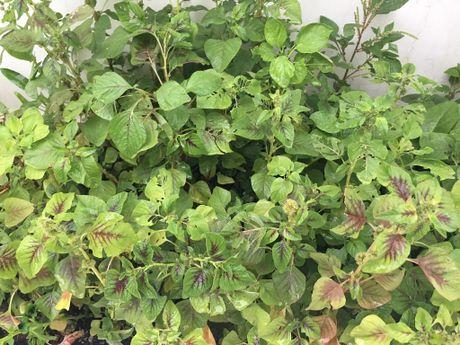 Vuon rau sach trong biet thu trieu do xanh muot cua vo chong Thuy Tien - Cong Vinh - Anh 6