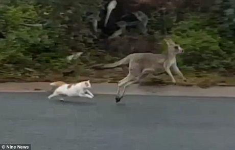 Meo ruot duoi kangaroo chay ban song ban chet tren pho - Anh 1