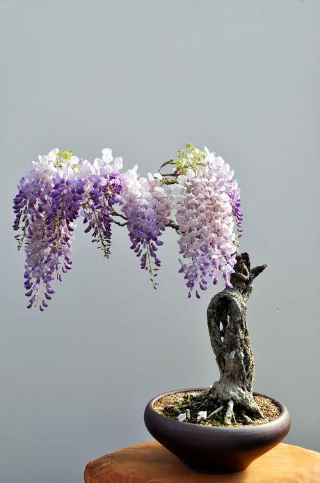 Nghe thuat tuyet dep cua nhung cay bonsai - Anh 10