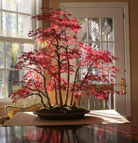 Nghe thuat tuyet dep cua nhung cay bonsai - Anh 1