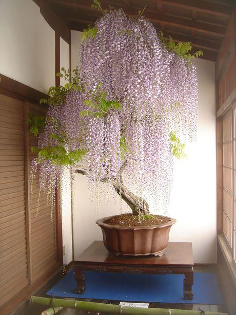 Nghe thuat tuyet dep cua nhung cay bonsai - Anh 3