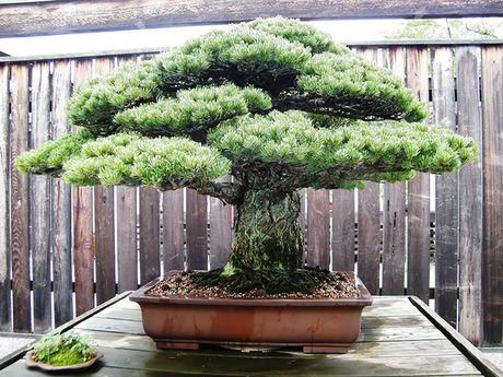 Nghe thuat tuyet dep cua nhung cay bonsai - Anh 4