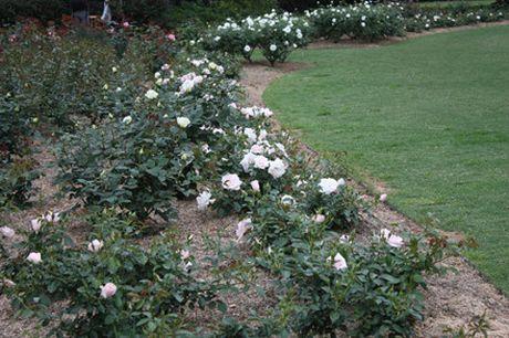 Khu vuon hon 1.800 cay hoa hong no ruc ro - Anh 11