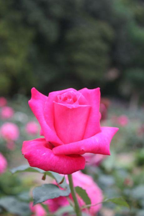 Khu vuon hon 1.800 cay hoa hong no ruc ro - Anh 2